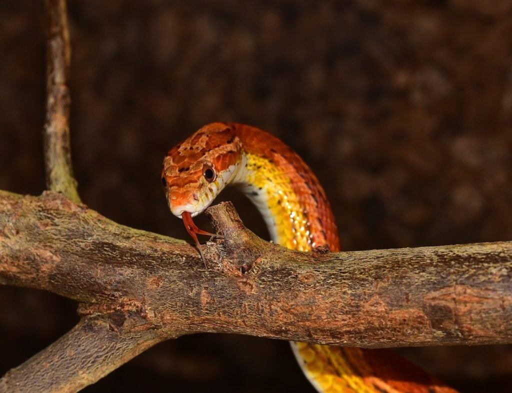 a corn snake