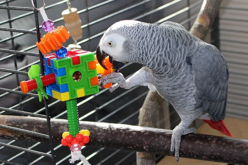 a grey parrot playing with a toy