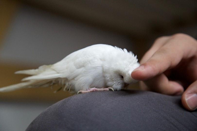 a hand preening on a white bird