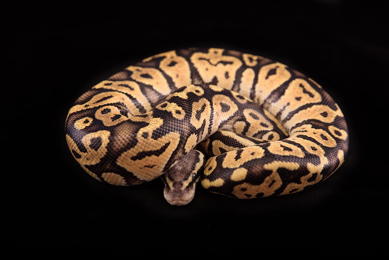 a vanilla Ball python