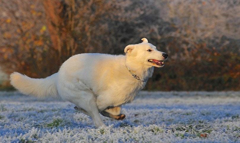 a white swiss shepherd dog running