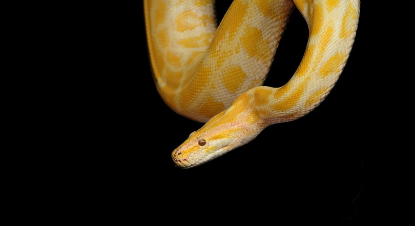 albino ball python in black background_Piqsels