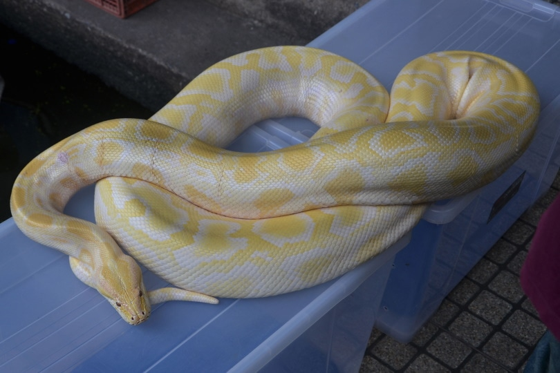 albino ball python resting_Piqsels