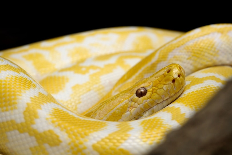 albino ball python_Piqsels