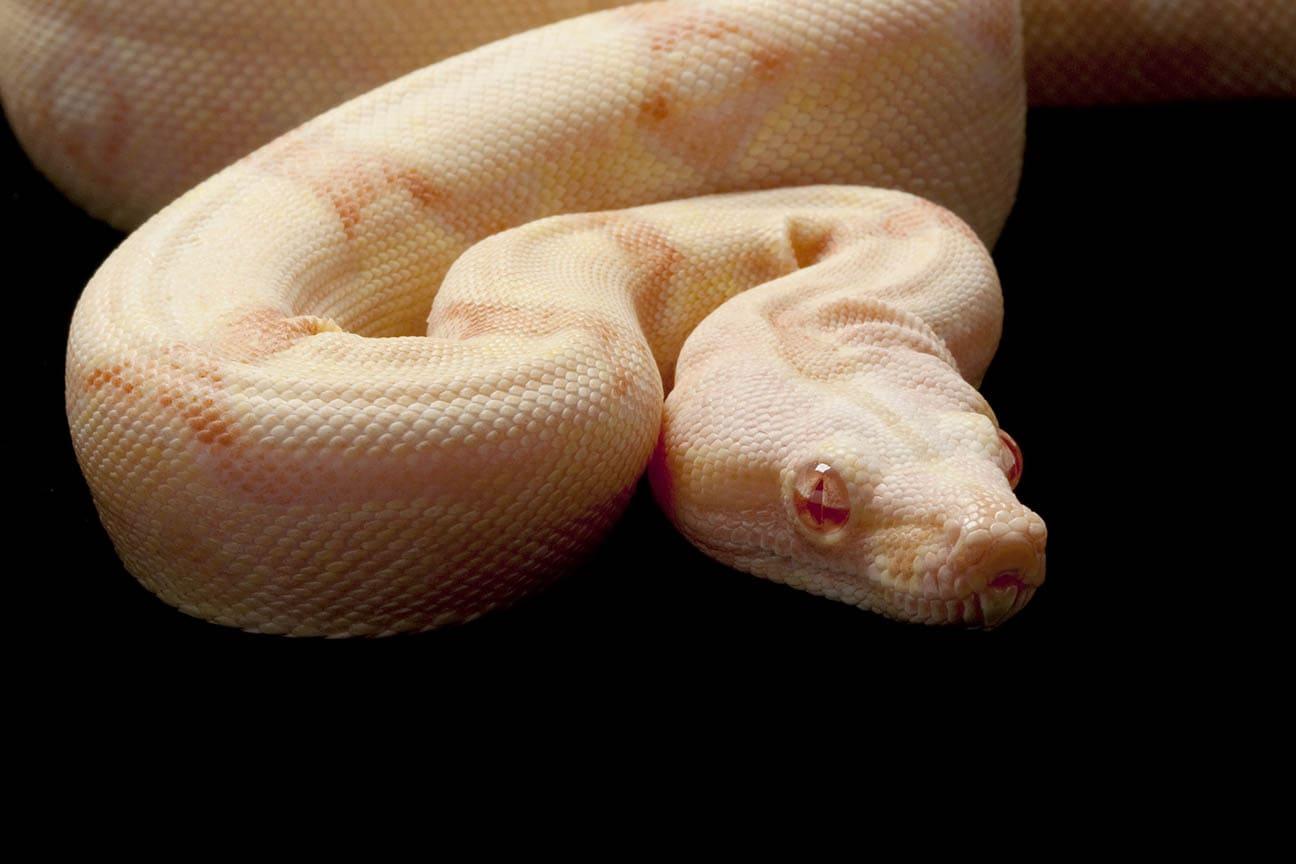 albino jungle boa