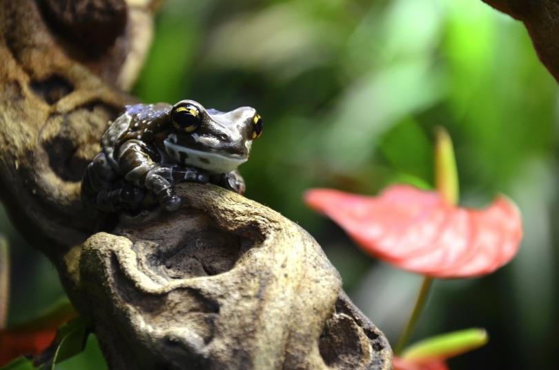 amazon milk frog_Andrea Bohl_Pixabay