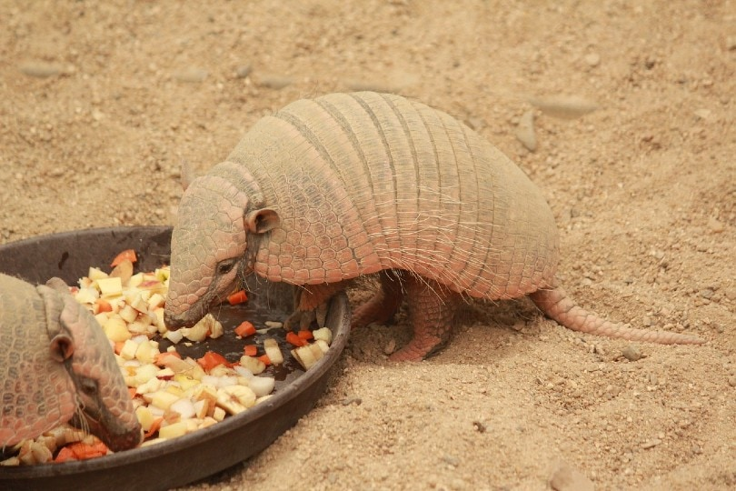 armadillo eating