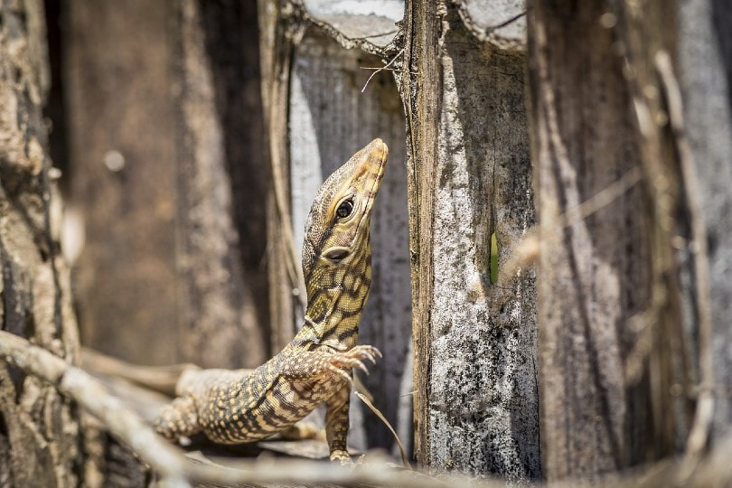 asian water monitor lizard in the wild