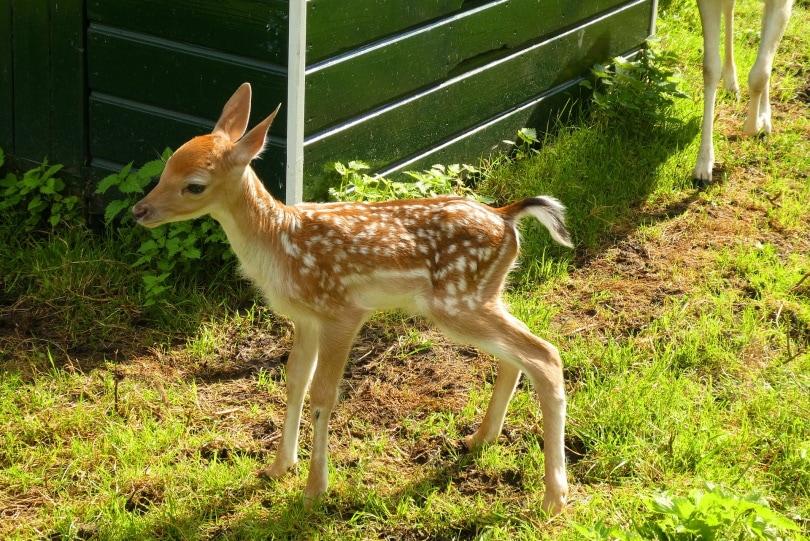 baby deer_Elsemargriet_Pixabay