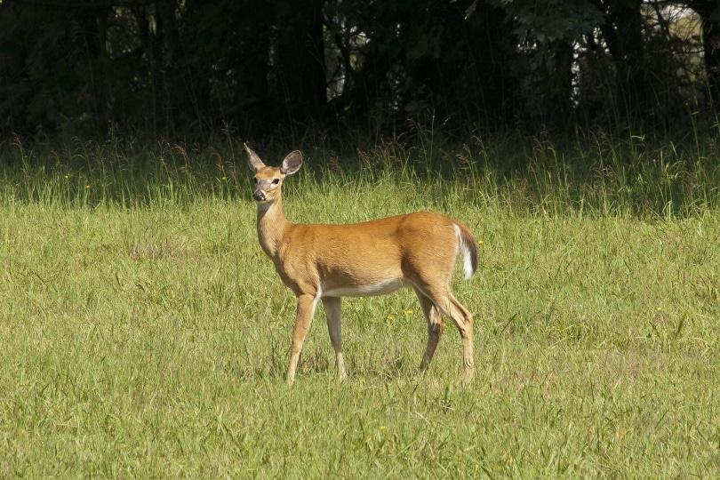 baby deer_Piqsels