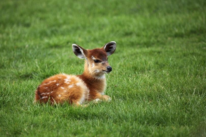 baby deer_PublicDomainPictures_Pixabay
