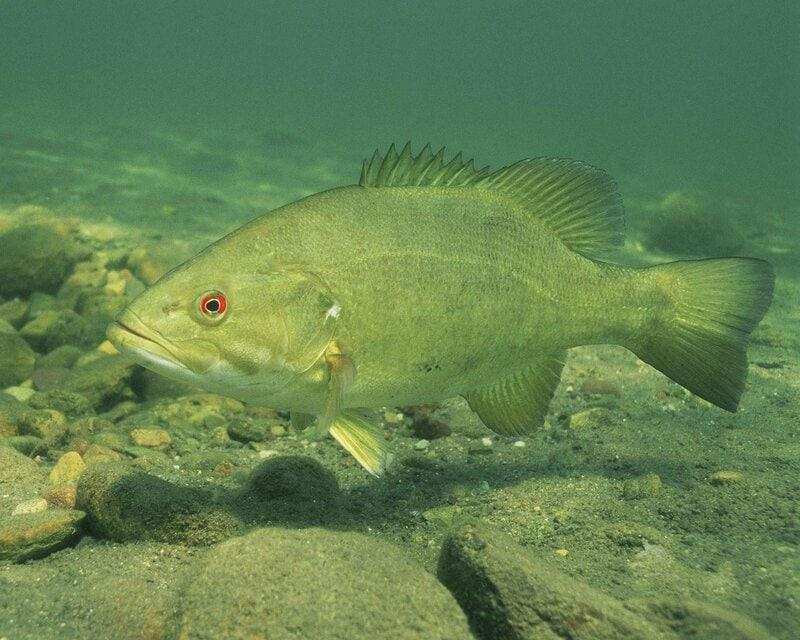 bass_fish_pixabay