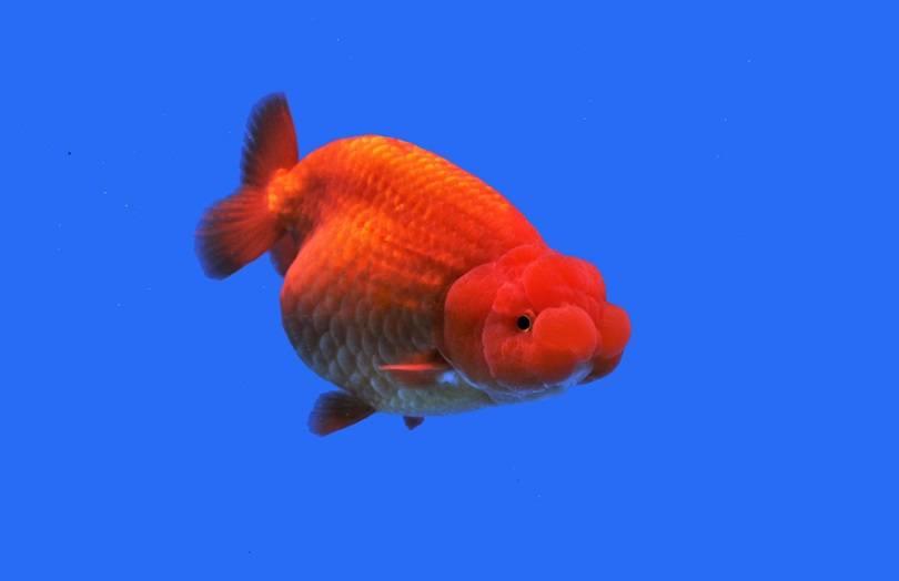 beautiful red lionhead goldfish_Arunee Rodloy_shutterstock