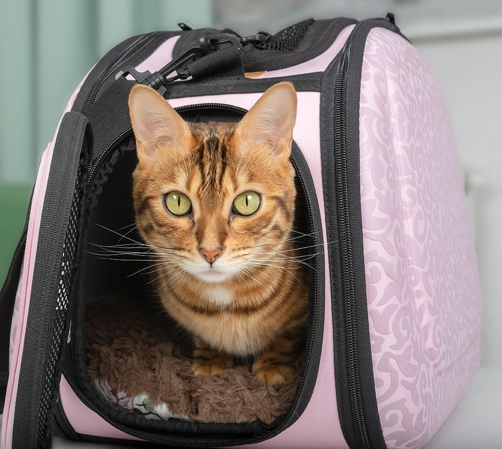 bengal cat in a carrier