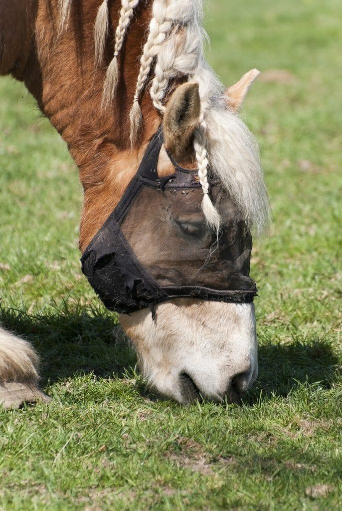 braided horse eating grass