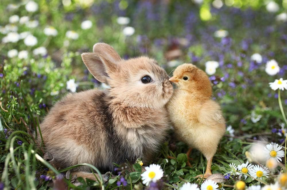 bunny and chick together