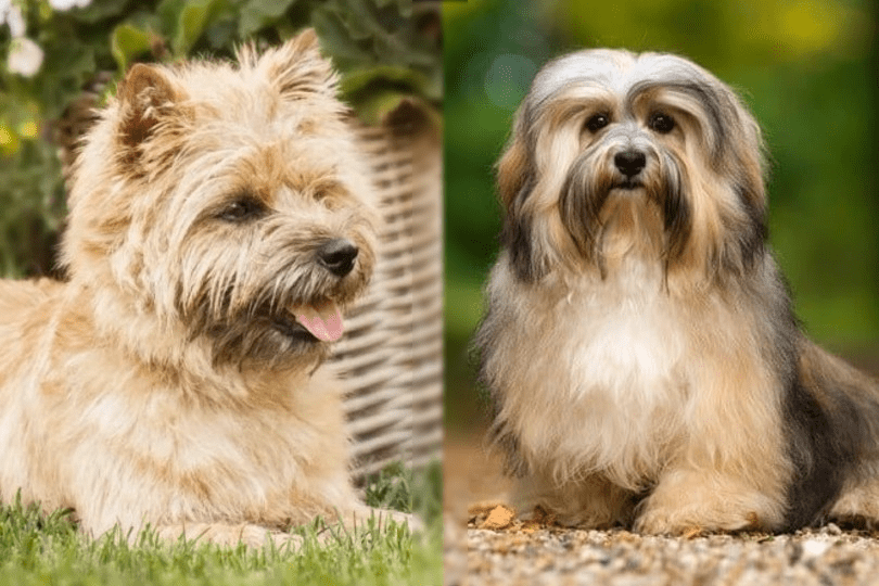 cairn terrier and havanese sitting on grass