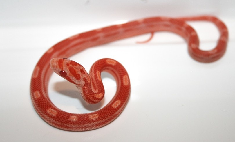 candy cane snake