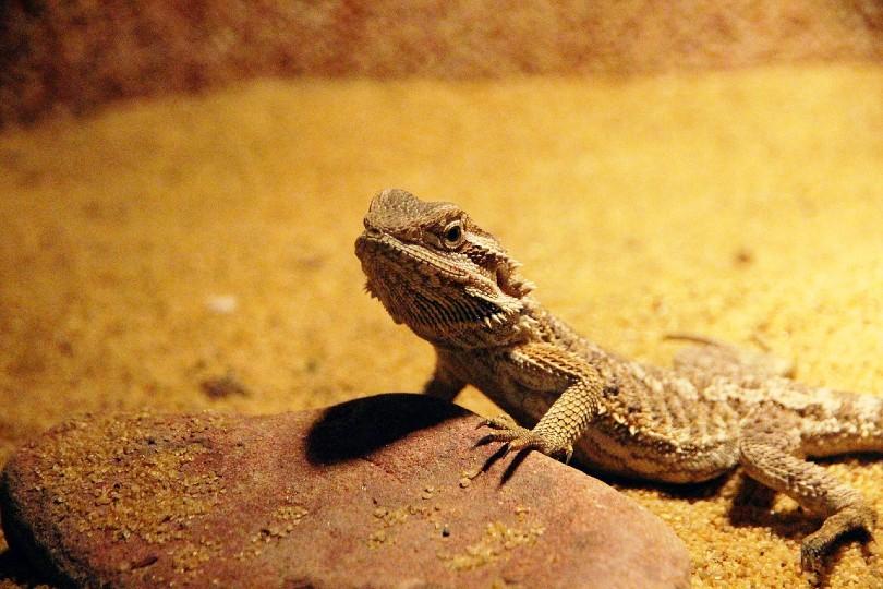 central bearded dragon on a tank