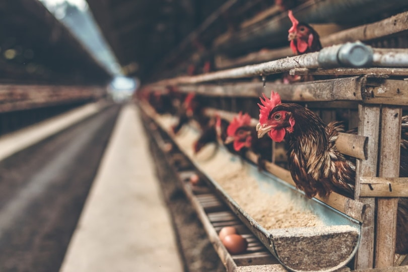 chicken eating grains in coop