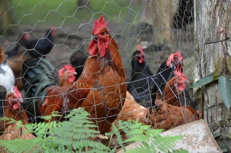 chicken inside fence
