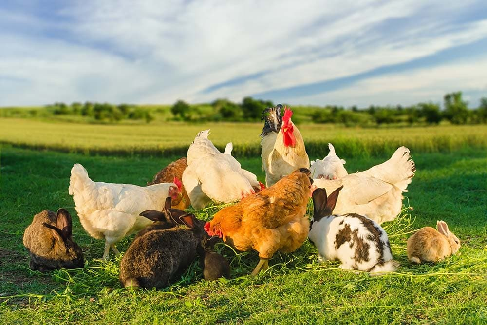 chickens and rabbits together