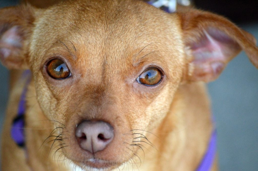chiweenie face