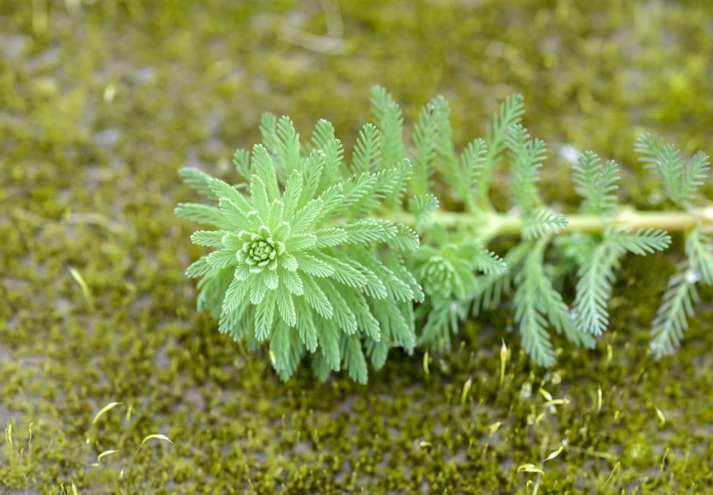 close up green foxtail