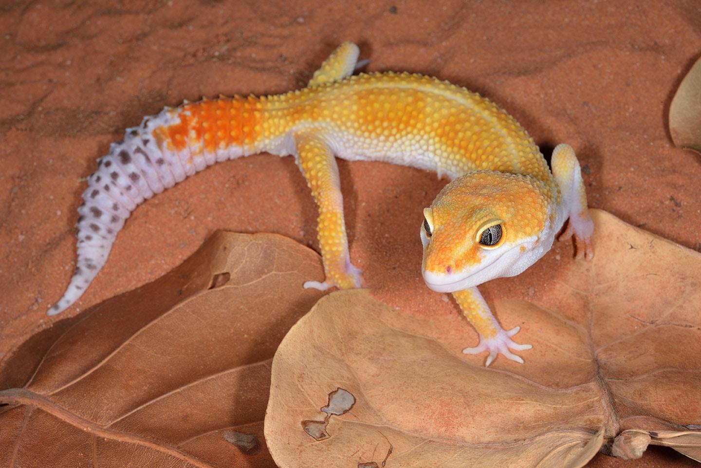 close up tangerine leopard gecko