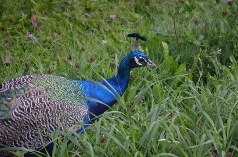 congo peacock_Piqsels
