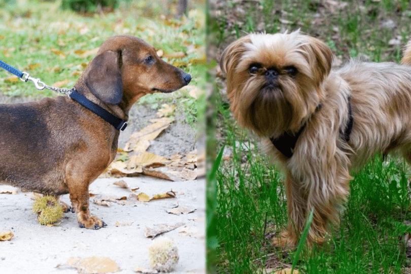 dachshund and brussels griffon