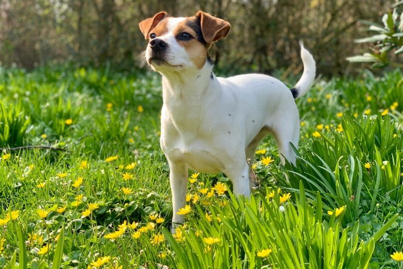 danish swedish farm dog_Kewalin Madsen_Shutterstock