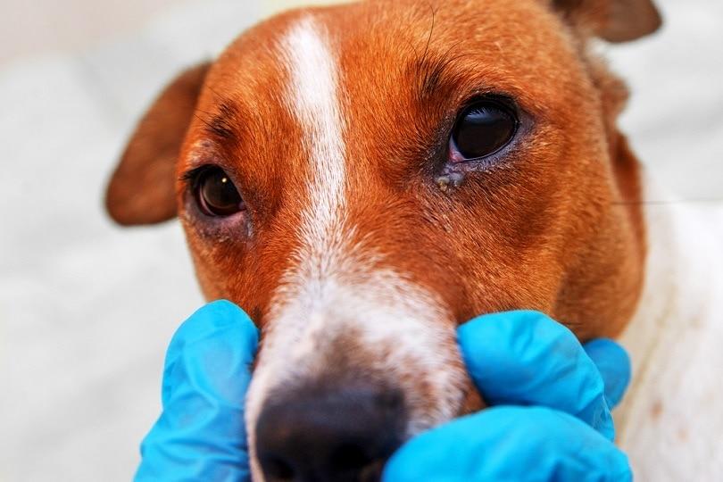 dog with eye problem