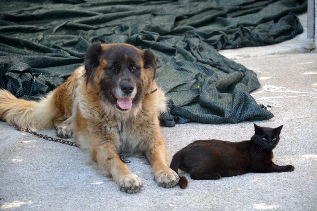 Estrela Mountain Dog and a cat