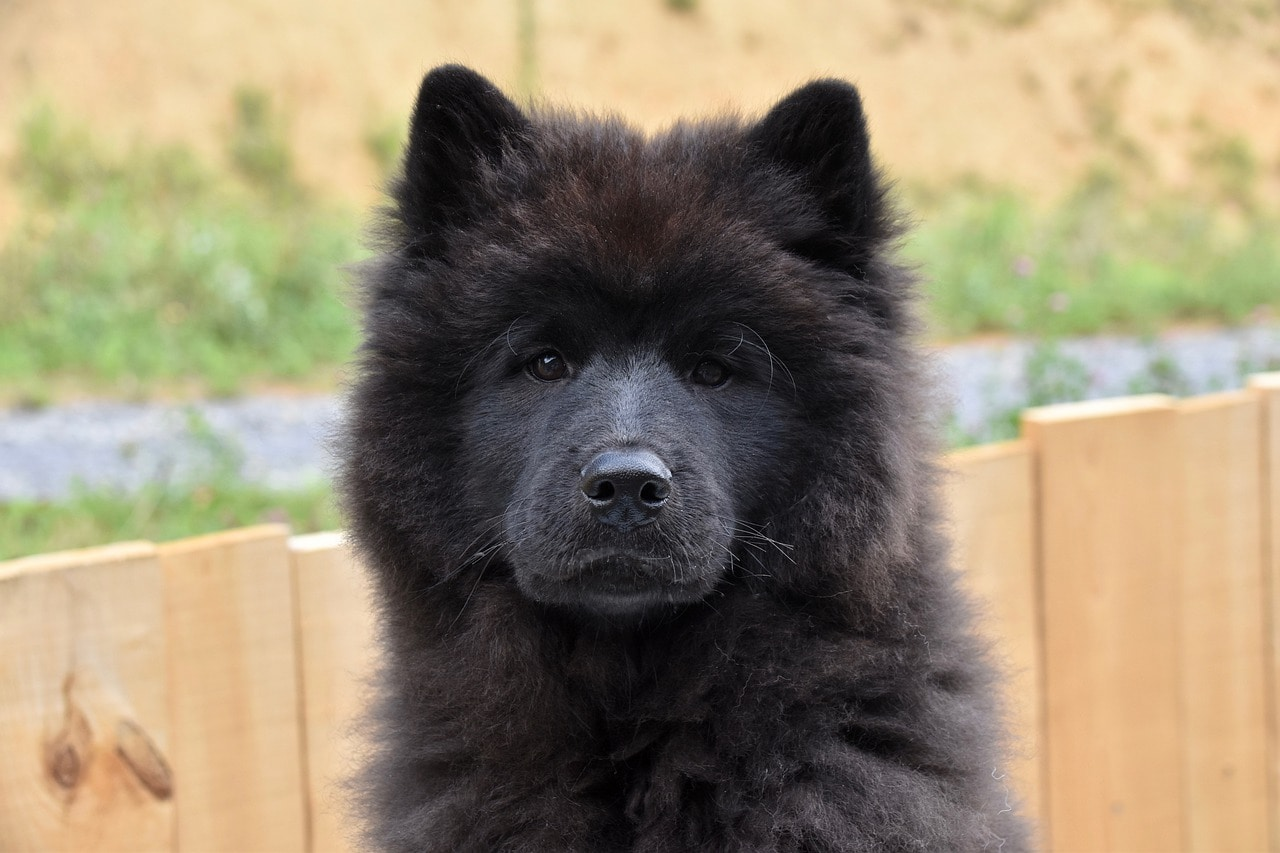 eurasier dog close up
