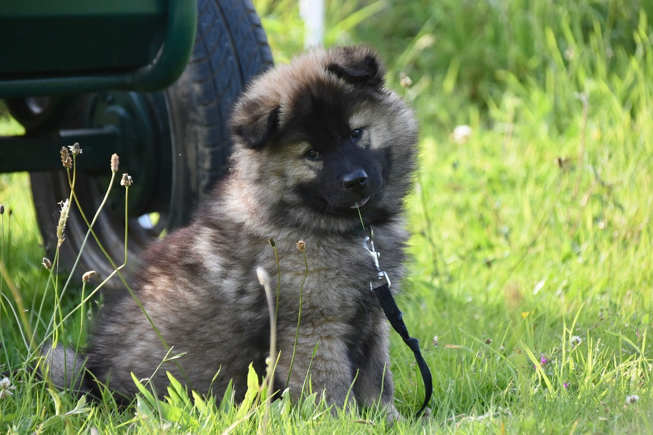 eurasier puppy with leash