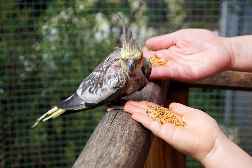 feeding a cockatiel