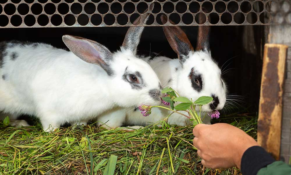 feeding two male rabbits