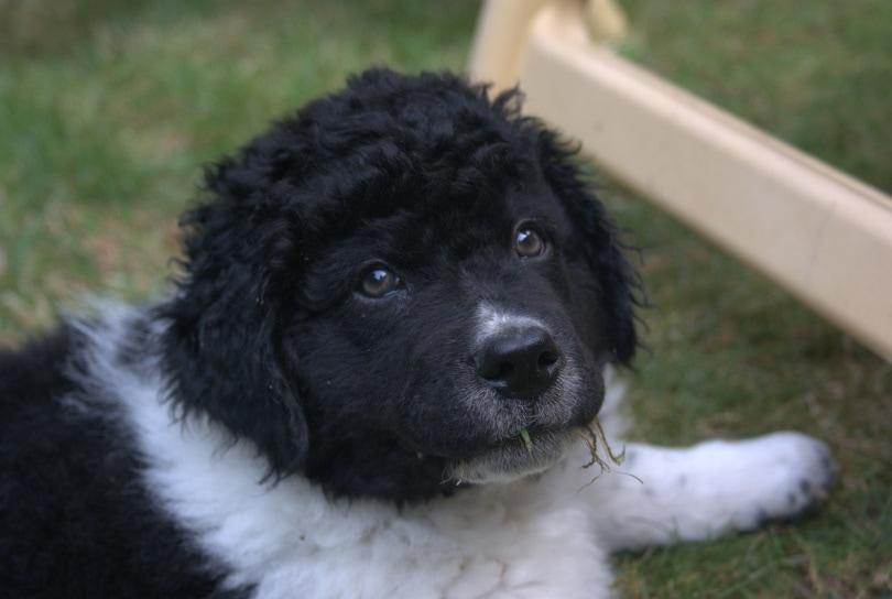frisian water dog puppy_hetty2302_Pixabay