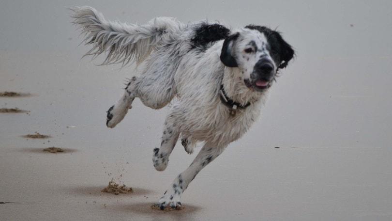 frisian water dog running_Piqsels