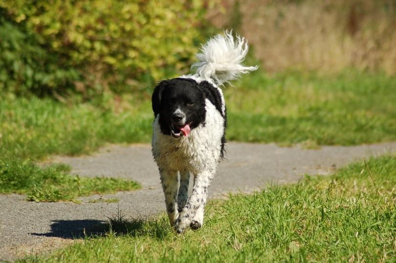 frisian water dog walking_Marjoleine Roosendaal_Pixabay