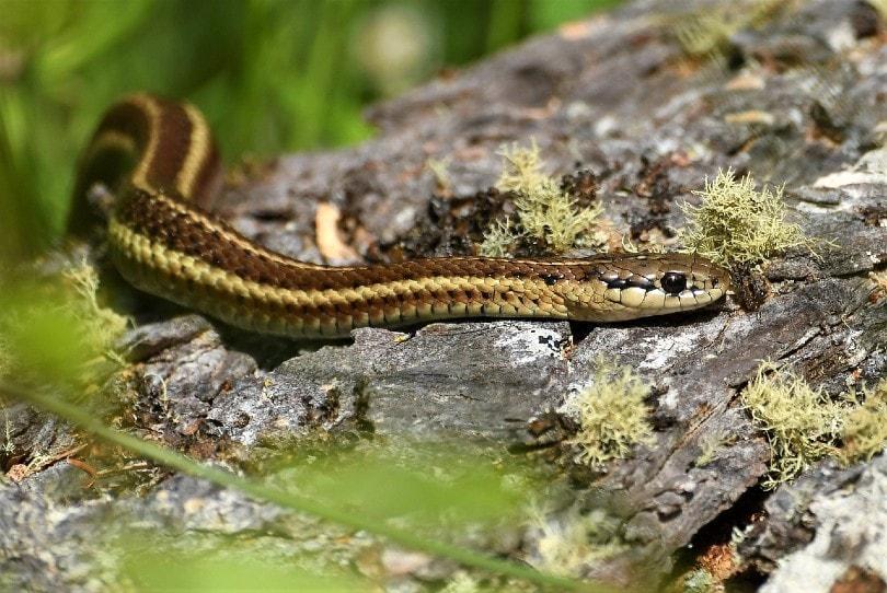 garter snake in the forest