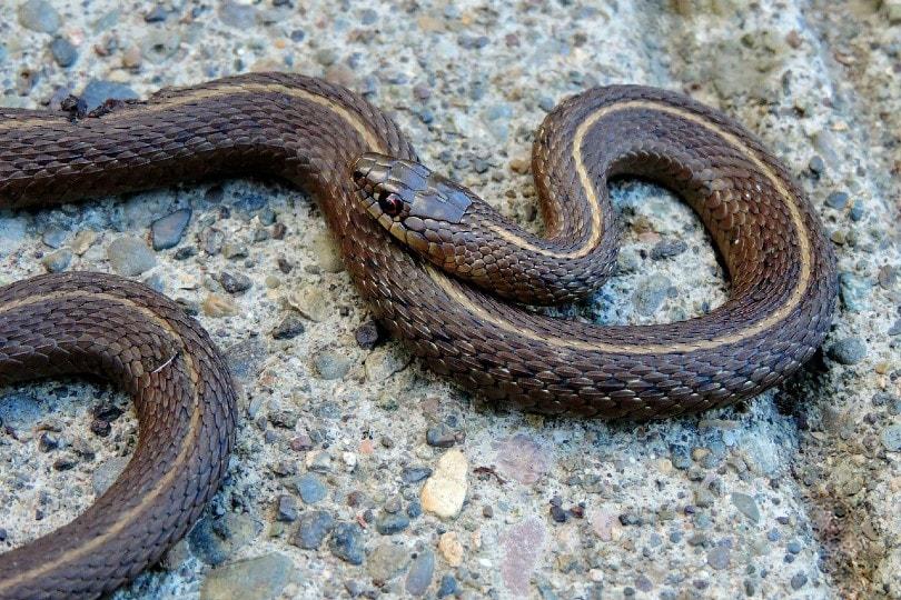 garter snake on a big rock