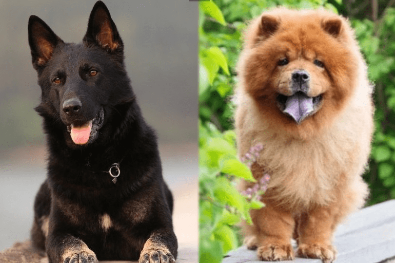 german shepherd and chow chow (front view)