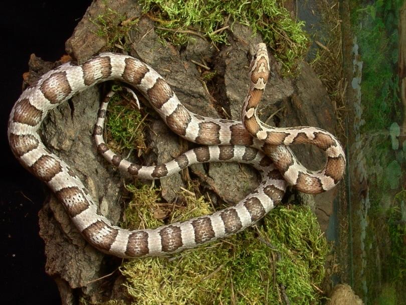 ghost corn snake in vivarium