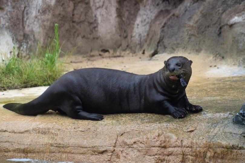 giant otter_F. Muhammad_Pixabay