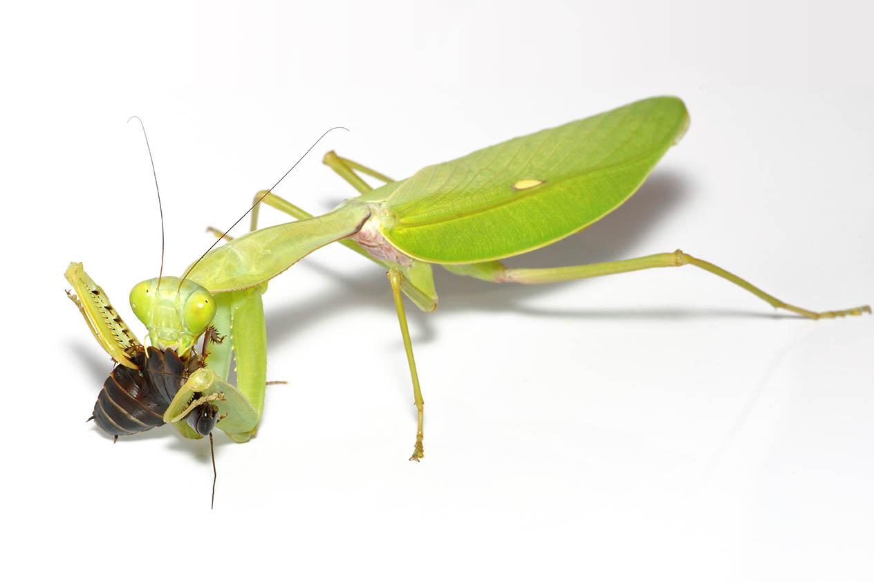Giant,Giant shield mantis eating,Mantis,(rhombodera,Megaera),Eating,A,Roach,,Close-up,On