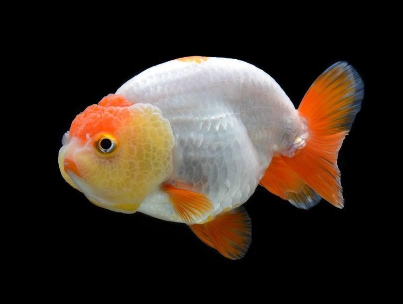 goldfish Ranchu_bluehand_shutterstock