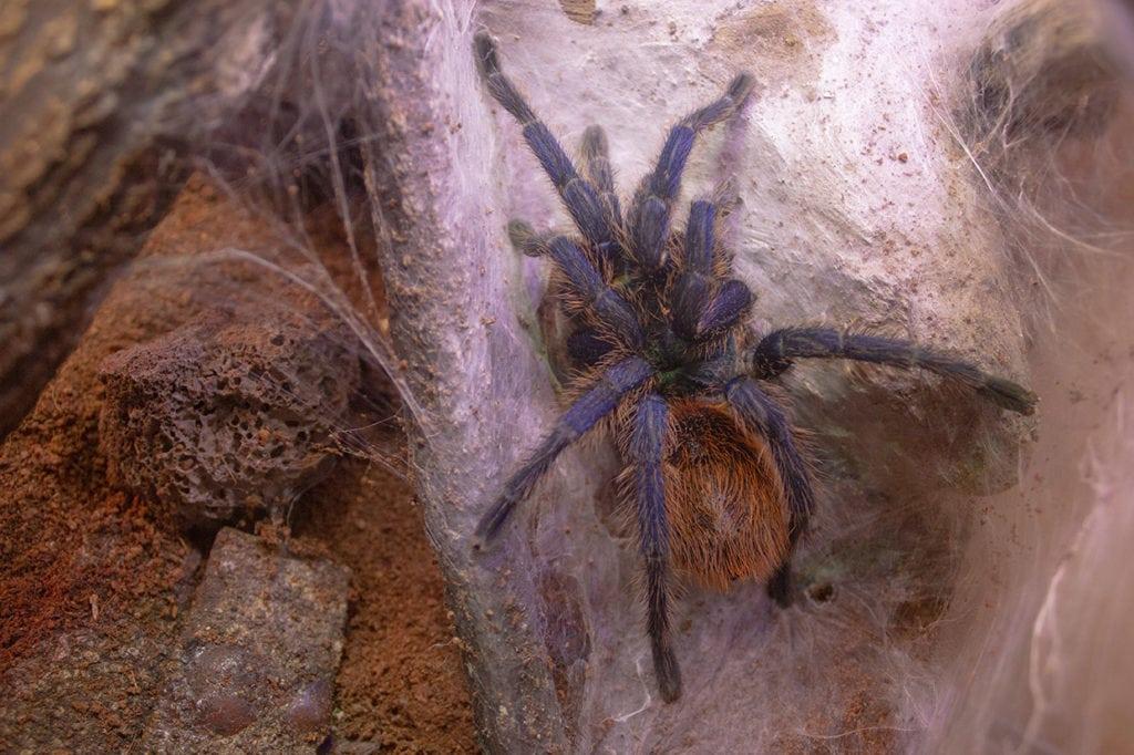 green bottle blue tarantula in a terrarium