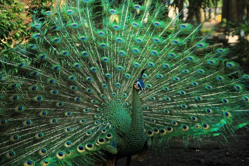 green peacock_endri yana yana_Pixabay